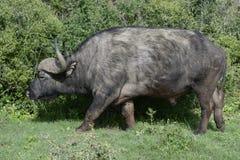 Herumsuchender Kap-Büffel, Addo Elephant National Park Lizenzfreies Stockfoto