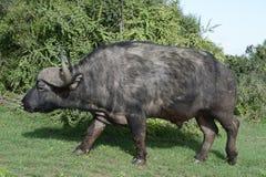Herumsuchender Kap-Büffel, Addo Elephant National Park Stockfotografie