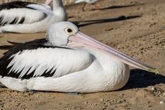Hervey Bay Pelican royaltyfri bild