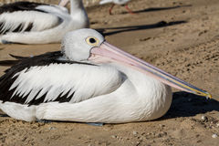 Hervey Bay Pelican royalty free stock image
