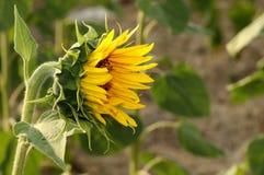 Hervorragende Sonnenblume lizenzfreie stockbilder