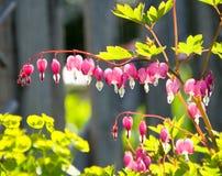 Herz-Blumen im Garten Stockfotos