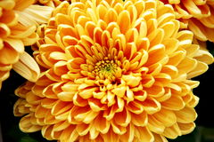 Herz der Chrysantheme Lizenzfreie Stockbilder
