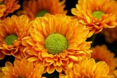 Herz der Chrysantheme Stockbild