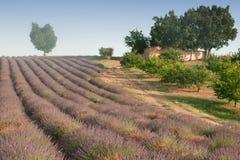 Herz-förmiger Baum auf einem Hügel auf einem Lavendelgebiet mit einem kleinen Bauernhaus Lizenzfreies Stockfoto