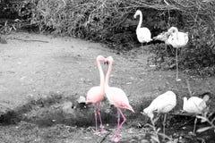 Herz-Flamingo Stockfotos