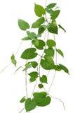 Herz formte die kletternden Reben der grünen Blätter, die auf weißem backg lokalisiert wurden stockfoto