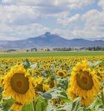 Herz-Gebirgssonnenblumenfeld lizenzfreie stockfotografie