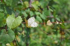 Herz geformte Blätter auf Rebe mit Ranken lizenzfreie stockfotografie