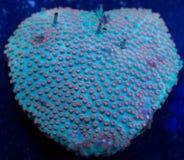 Herz-geformte Kolonie von Cyphastrea-Koralle stockfotos