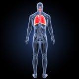 Herz und Atmungssystem mit Anatomierückansicht Stockfotos