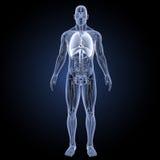 Herz und Atmungssystem mit Anatomievorderansicht Lizenzfreie Stockbilder