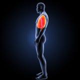 Herz und Atmungssystem mit Körperseitenansicht Lizenzfreie Stockfotografie
