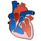 Herz-zirkulierende System-Vektor-Illustration Lizenzfreie Stockfotos