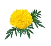 Herzform der Ringelblumen- oder Calendulablume Stockfoto