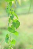 Herzform des grünen Blattes stockfotografie