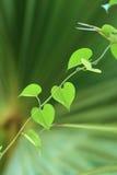 Herzform des grünen Blattes für Valentinstag stockbild