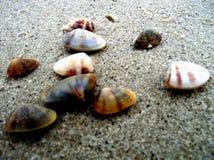 Herzmuscheloberteile auf dem Strand
