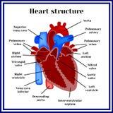 Herzstruktur Das Organ des Kreislaufsystem lizenzfreie abbildung