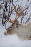 Hesd da rena na neve fotografia de stock