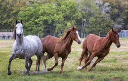 Hesitant Curiosity. Horses look on with hesitant curiosity while some run away stock images