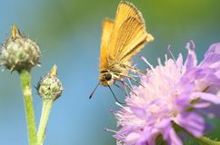 Hesperia comma - butterfly royalty free stock image