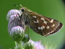Hesperia comma royalty free stock images