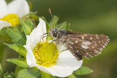 Hesperia Comma / Silver-spotted Skipper Butterfly Royalty Free Stock Photos