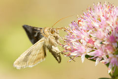 Hesperiidae. Is eating on pink flower Stock Photography