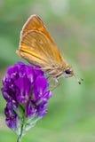 Hesperiidae Royalty Free Stock Photos