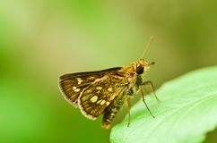Hesperiidae skipper butterfly Stock Photography