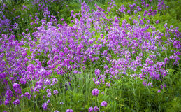 Hesperis Matronalis, background. Royalty Free Stock Photos