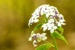 Hesperis matronalis, damask violet Stock Photography