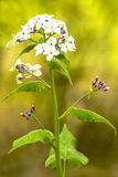 Hesperis matronalis, damask violet Royalty Free Stock Image