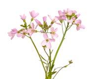 Hesperis matronalis flower on white background Royalty Free Stock Photography