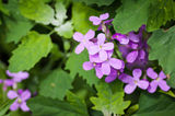 Hesperis Matronalis. Royalty Free Stock Photography