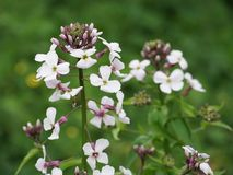 Hesperis matronalis flowers. royalty free stock photo