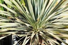 Hesperoyucca Whipplei växt arkivfoto