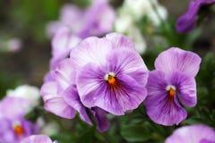 Hesrtsease för blek violet Fotografering för Bildbyråer