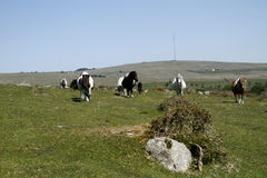 Hessary Tor with Dartmoor Ponies Stock Images