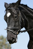 Hessian warmblood horse Stock Image