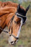 Hessian warmblood horse. Portrait of the head of a noble Hessian warmblood horse stock images
