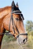 Hessian warmblood horse Royalty Free Stock Photos