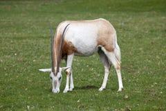 Het één enkele Weiden van Kromzwaard Gehoornde Oryx Royalty-vrije Stock Afbeelding