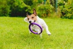 Het aanbiddelijke huisdierenhond spelen met stuk speelgoed bij groen grasgazon bij achtertuin Royalty-vrije Stock Afbeelding