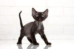 Het aanbiddelijke katje van Devon rex Royalty-vrije Stock Foto's