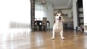 Het aanbiddelijke kleine de terriër van hondjack russell dansen die wil spelen springen opgewekt ongeduld Actief gek vriendenhuis stock videobeelden
