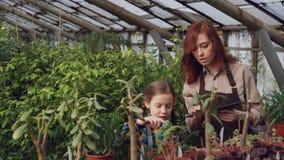 Het aanbiddelijke meisje helpt haar moeder in installaties van de serre de tellende pot terwijl haar mamma met tablet en het spre stock video