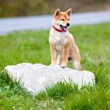 Het aanbiddelijke puppy die van shibainu in openlucht stellen Stock Foto