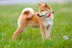 Het aanbiddelijke puppy die van shibainu in openlucht stellen Stock Fotografie